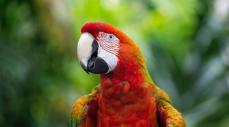 Imagen representativa de la Guacamaya Roja