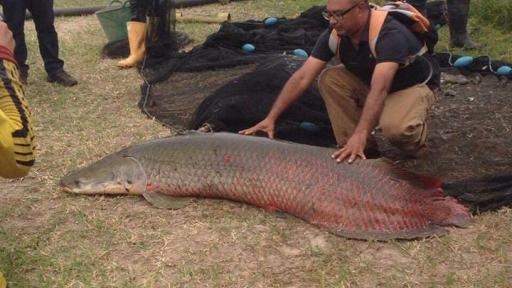 En peligro de extinción el pirarucú, pez emblemático de la Amazonía